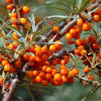 Sea Buckthorn Seeds