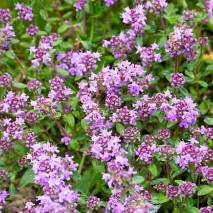 mother of thyme, Thymus Praecox, wild thyme seeds, creeping thyme