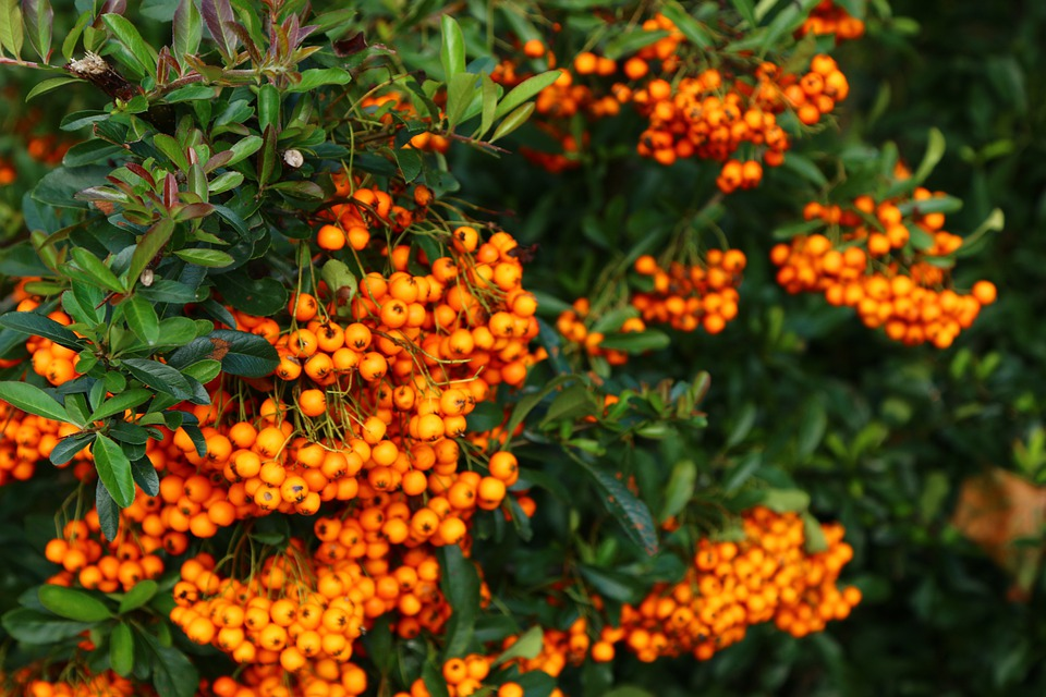 how to grow sea buckthorn