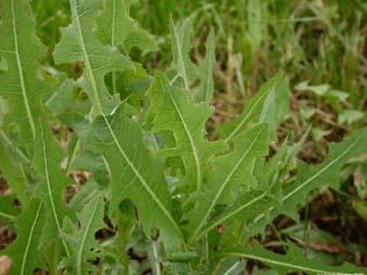 wild lettuce, bitter lettuce, Lactuca Virosa, how to grow wild lettuce