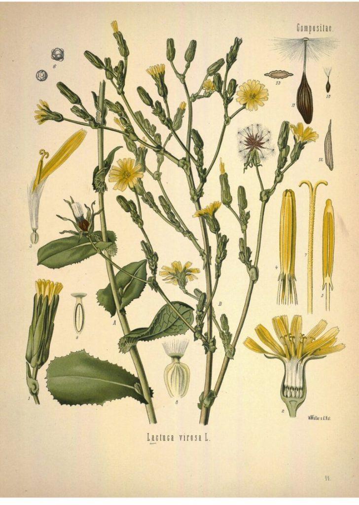 Lactuca Virosa, opium lettuce, bitter lettuce