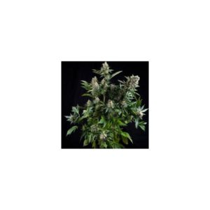 AUTO WHITE WIDOW 1 SEME