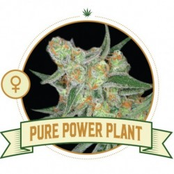 pure-power-plant-semi-femminizzati-city-seeds-bank