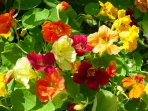Nasturtium-Dwarf Jewel Mix Brilliant