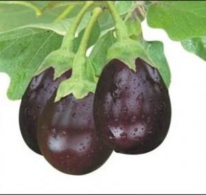 Eggplant Ratna Seeds Of India Shop Seeds Of India