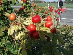 Rose Hip – Apple Butter