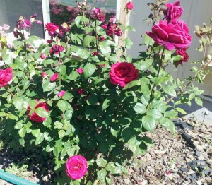 pink rose bushes