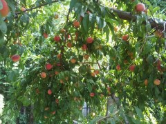 Backyard Peach Tree