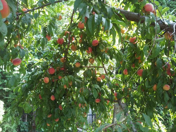 peach tree pictures