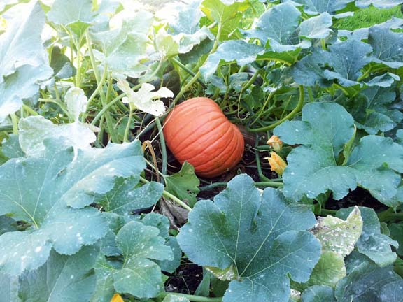 home grown pumpkin