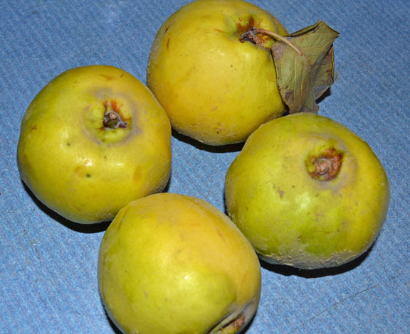 raw quince