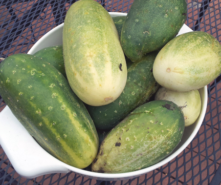 ripe cucumbers