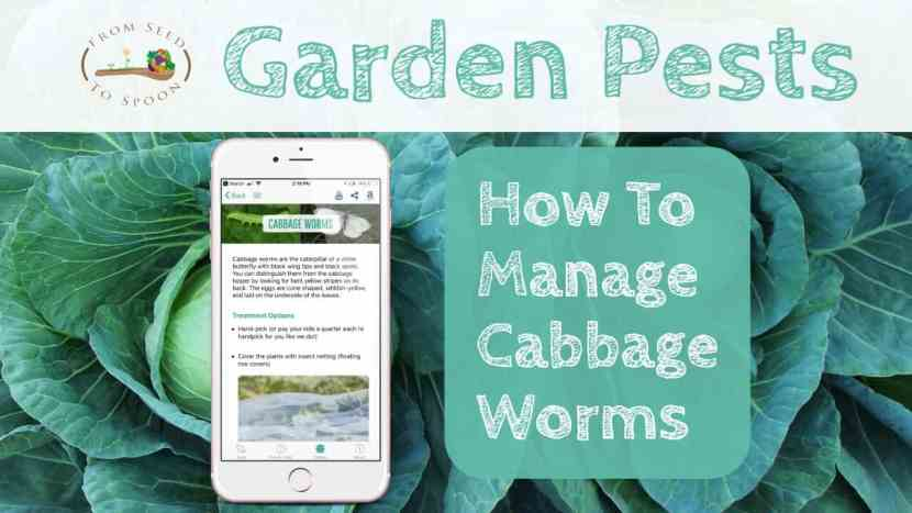 Cabbage worms blog post