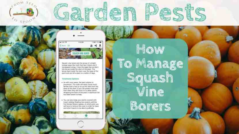 Squash Vine Borers blog post