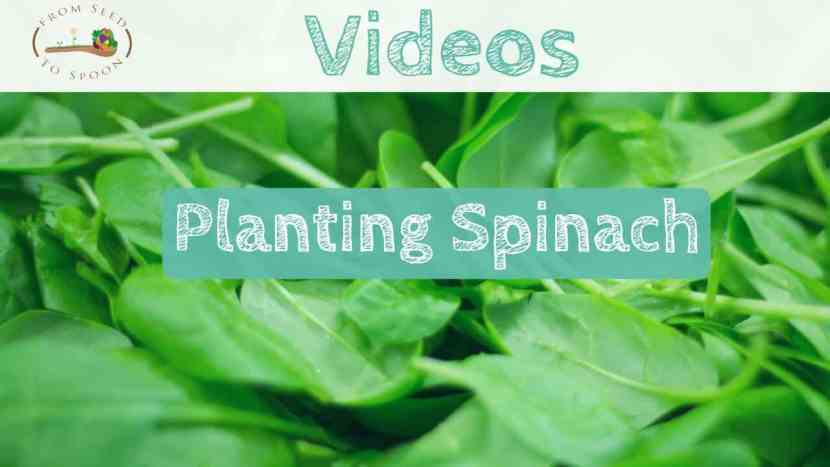 Spinach video