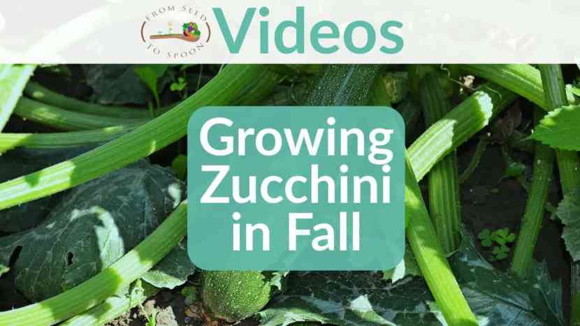 Growing Zucchini in Fall blog post