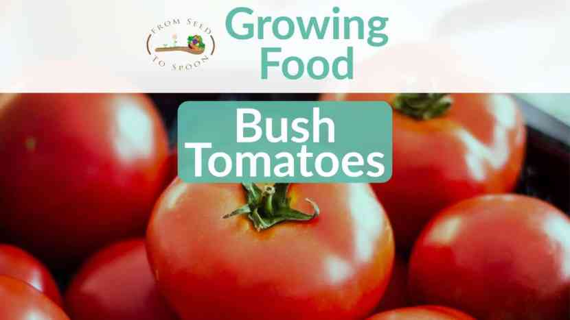 TomatoesBush blog post
