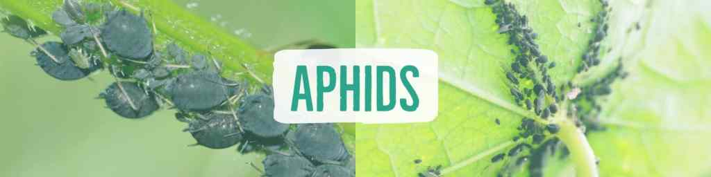 aphids-header