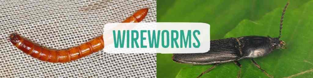 wireworms-header
