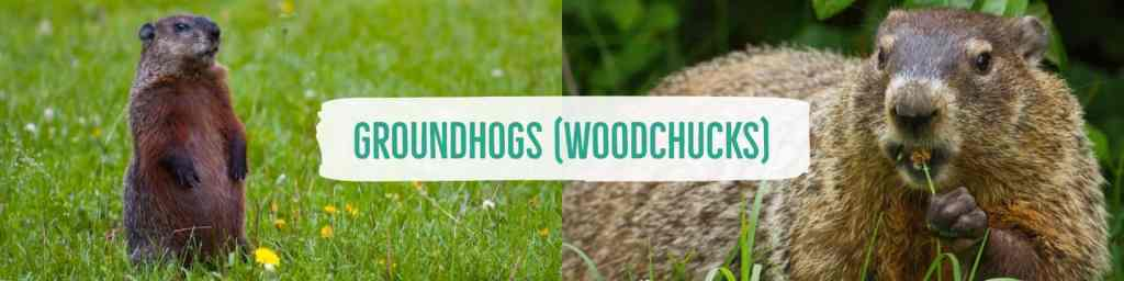 woodchucks-header