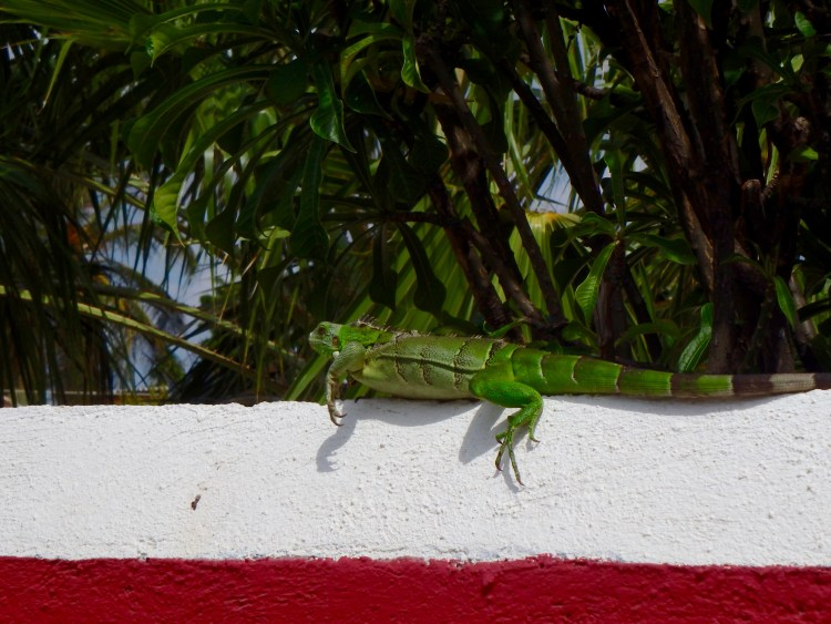 where do you eat iguana in curacao best places to eat in curacao what are the best things to do in curacao