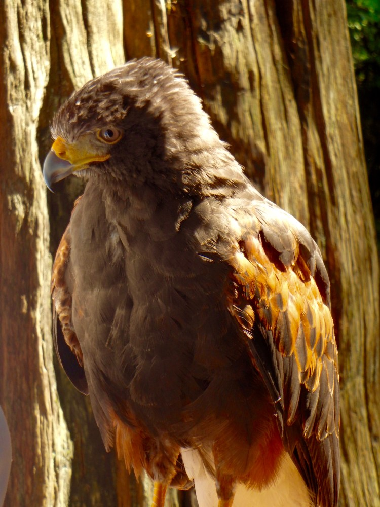 Raptors Ridge Harris Hawk thigns to do at Capilano Suspension Bridge Park