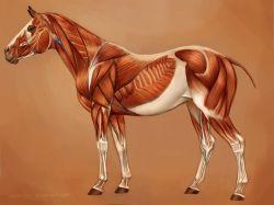 horses-muscles-93d41e51