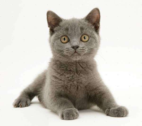 60+ Cute British Shorthair Kittens and Cats