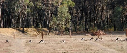 kanguruflock