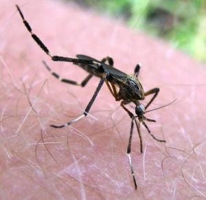 Invasione di Super-Zanzare in Florida probabilmente manipolate geneticamente