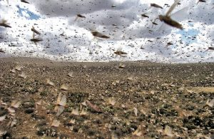 Invasione di cavallette in Madagascar
