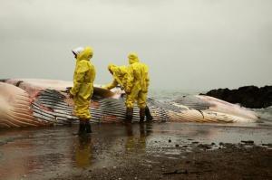L'enigma della balena e del delfino spiaggiati in Versilia
