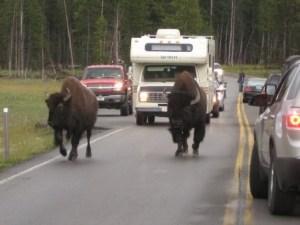 Yellowstone: bisonti spaventati fuggono dal parco