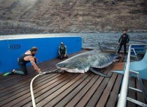 Qualcosa negli oceani divora squali bianchi