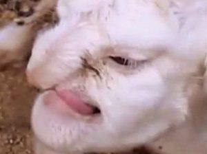 Russia nato agnello con volto umano