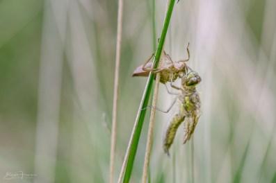 Schlupf einer Libelle III