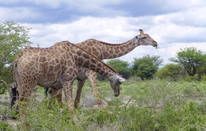 two giraffes eating leaves from acacia trees