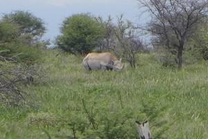 White Rhino in the brush
