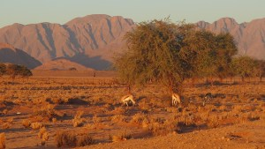 Springbok grazing during sunset, red mountains in the distance