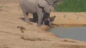 Baby elephant reaches for water at a waterhole standing at the mama's feet