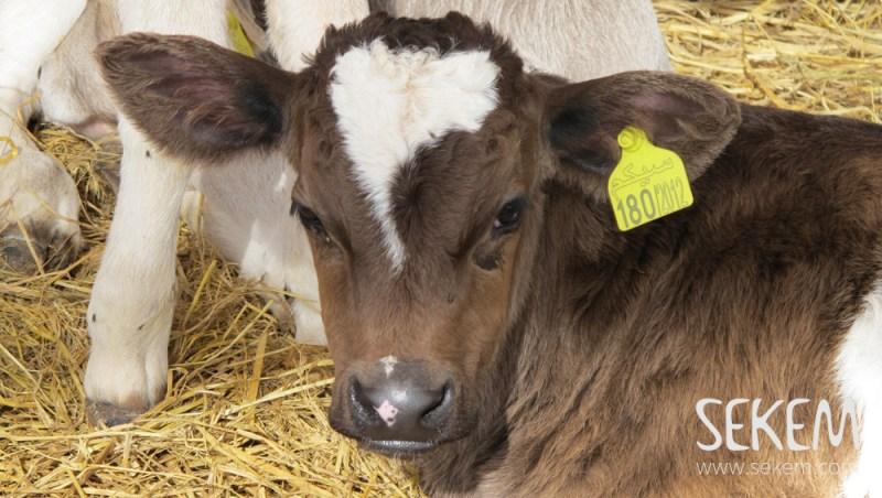 SEKEM cow