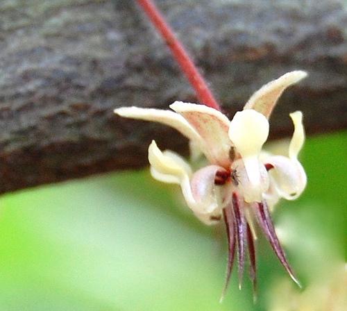 Kwiat kakaowca