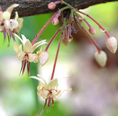kwiaty i pąki kakaowca