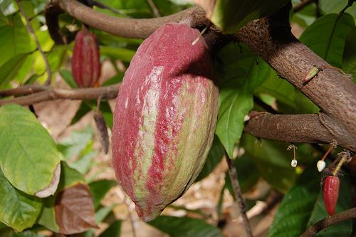 Owoce kakaowca na drzewie kakaowym