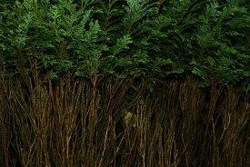 Conifer-Dream-08