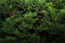 Conifer-Dream-16