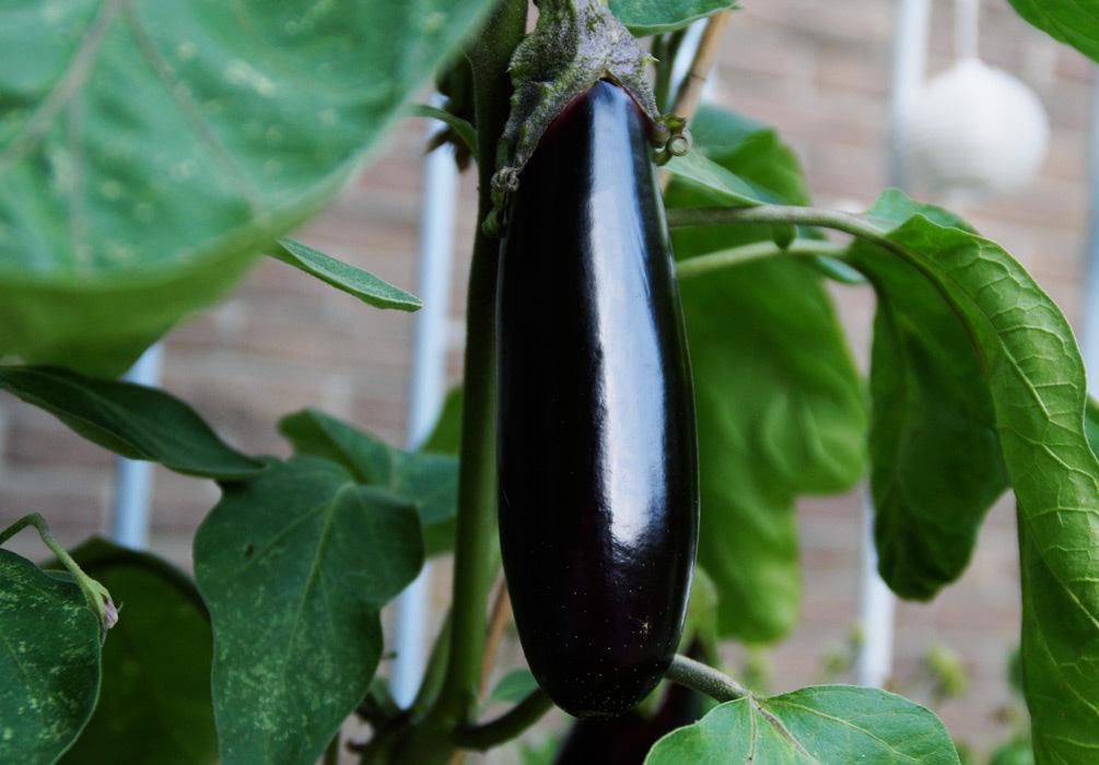 aubergine pflanzen top aubergine bellezza nera samen with. Black Bedroom Furniture Sets. Home Design Ideas