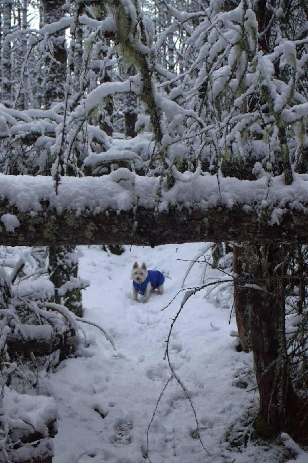 snow-westie