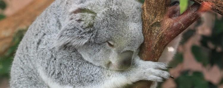 Koala Sleeping in Tree
