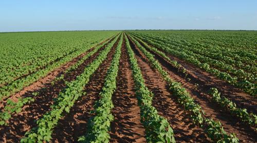 A região oeste tem uma área de cerca de 227 mil hectares, representando 98% da produção na Bahia.